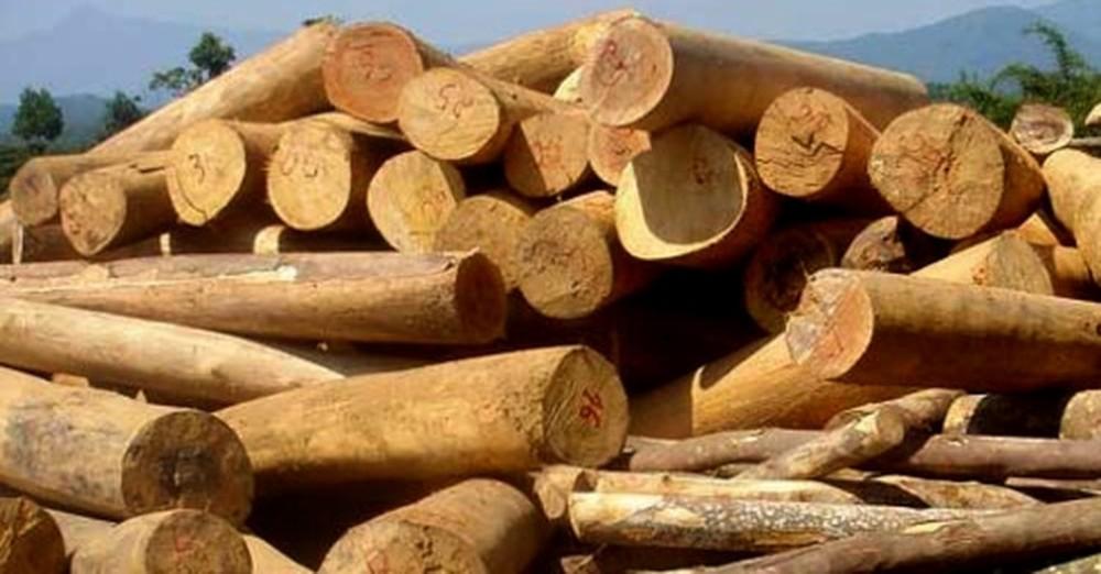 Top 10 loài cây lấy gỗ giúp kiếm tiền tỷ, thu hồi vốn nhanh - Cây giống  Vĩnh Phúc