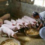 Trung Quốc: Giá thịt heo biến động mạnh gây khó khăn cho các nhà sản xuất