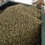 Giá cà phê 7/9 đồng loạt tăng 100 đồng/kg tại khu vực Tây Nguyên